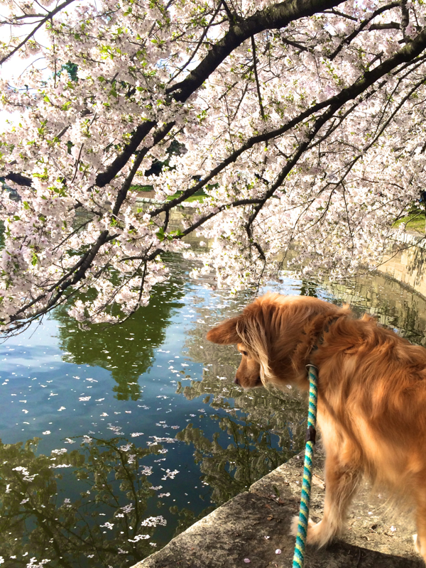 Stella Visits the Cherry Blossoms